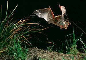 Greater mouse eared bat hunting (Myotis myotis) Germany  -  Dietmar Nill