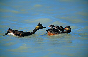 Black necked grebe (Podiceps nigricollis) adult  brings food to chicks on mate's back, Germany  -  Hermann Brehm