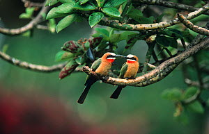 White fronted bee eater (Merops bullockoides) courting pair perched on branch, Masai Mara NR, Kenya - Anup Shah