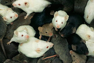 Laboratory mice (Mus musculus) showing colour variation / morphs  -  Dietmar Nill