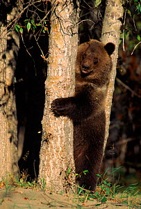 Grizzly bear standing on hind legs behind tree, N. America (captive)  -  Mary McDonald