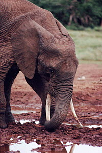 African elephant excavating for minerals to supplement diet, Aberdares, Kenya, - Keith Scholey