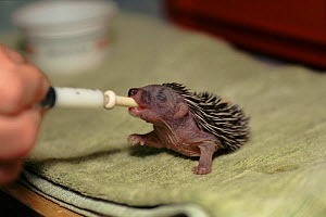 Hedgehog, orphaned 8-day-old baby being fed from syringe - Colin Seddon