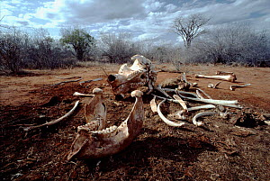 African elephant bones, from ivory poaching. Kenya, Tsavo National Park - Jabruson