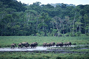 African forest elephant herd in the Republic of Congo, Odzala National Park  -  Jabruson