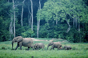 African forest elephant herd. Republic of Congo, Odzala National Park.  -  Jabruson