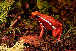 Poison Arrow Frog (Epipedobates tricolor) Ecuador Amazon South-America. colourful. - Pete Oxford