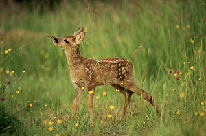 Whitetail deer fawn (Odocoileus virginianus). Texas, USA - Tom Vezo
