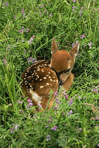 Whitetail deer fawn (Odocoileus virginianus) sleeping in grass, Texas, USA - Tom Vezo