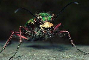 Green Tiger Beetle close-up, UK - Duncan Mcewan