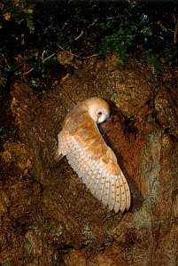Young Barn owl (Tyto alba) prepares to fly. Barn Owl Trust, UK Devon. 200 yr old tree. 3 months, released under licence.  -  Kevin J Keatley