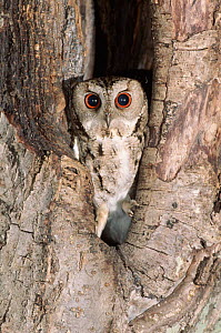 Indian scops owl. Russia, Ussuriland, South Primorskiy  -  Yuri Shibnev