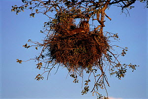 Giant eagle owl (Bubo lacteus) nesting. Kruger Gemsbok NP, South Africa - Ron O'Connor