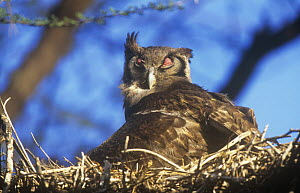 Gaint eagle owl (Bubo lacteus) on nest with nictating membrane covering eye, Baringo NP, Kenya  -  Mike Wilkes