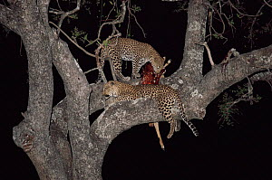 Leopard {Panthera pardus} with 10-month cub & Impala kill in tree at night, Zambia, Southern Luangwa NP.  -  Owen Newman