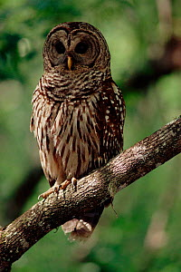 Barred owl (Strix varia) Florida, USA - Steven David Miller