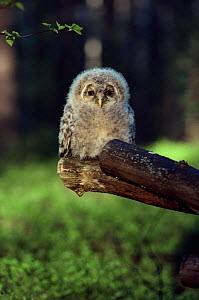 Young Ural owl {Strix uralensis} portrait on branch after ringing, Finland.  -  Seppo Valjakka