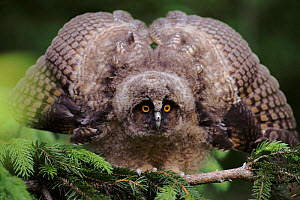 Long eared owl chick (Asio otus) showing aggression. Germany, Europe  -  Dietmar Nill