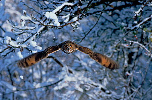 Long eared owl (Asio otus) in flight with snow. Germany, Europe  -  Dietmar Nill