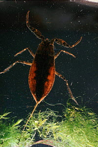 Water scorpion, UK  -  SINCLAIR STAMMERS