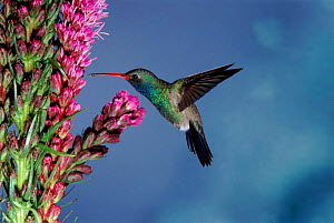 Broad billed hummingbird (Cynanthus latirostris) AZ, USA Madera Canyon, Arizona  -  Mary McDonald