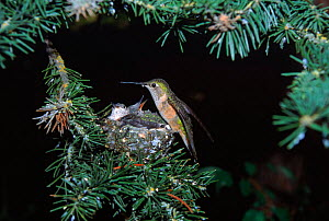 Broad tailed hummingbird at nest, Wyoming USA  -  TOM MANGELSEN