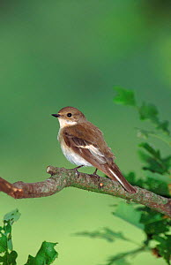 Female pied flycatcher on perch, England, UK  -  Paul Hobson