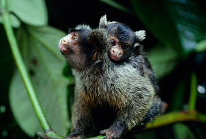 Maues marmoset, male carrying baby (Callithrix mauesi) Brazil Males share in upbringing.  -  Nick Gordon