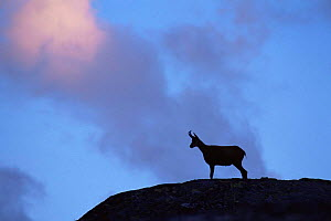 Chamois (Rupicapra rupicapra) silhouetted, Gran Paradiso National Park, Italy  -  Tim Edwards