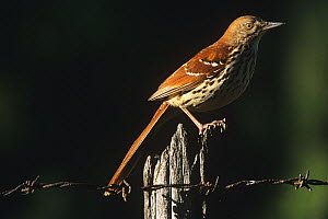 Brown thrasher (Toxostoma rufum) perched on fence, Wisconsin, USA  -  Larry Michael