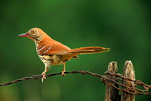 Brown thrasher perched.  Wisconsin, USA  -  Larry Michael