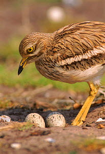 Stone curlew (Burhinus oedicnemus) at nest with eggs. UK - John Cancalosi
