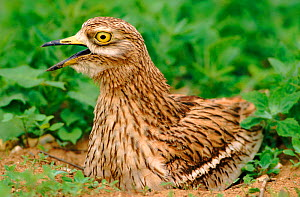 Stone curlew (Burhinus oedicnemus) calling on nest. England,  UK, Europe - John Cancalosi
