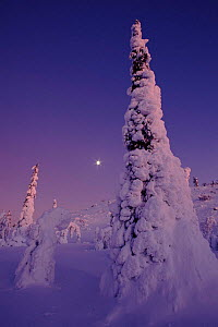 Snow laden trees. Finland, Scandinavia, Europe  -  Seppo Valjakka
