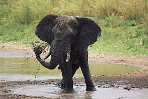 African elephant {Loxodonta africana} spraying water Kruger NP South Africa - Ron O'Connor