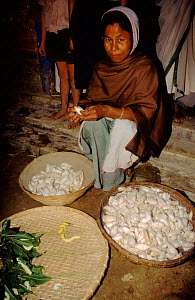 Removing silkworms (Bombyx mori) from cocoon. Assam, India - Pete Oxford
