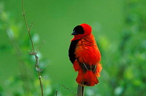 Red bishop male perched, Gambia, West Africa  -  Dietmar Nill