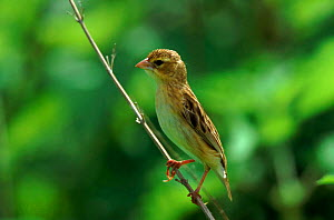 Red bishop female, Gambia, West Africa  -  Dietmar Nill