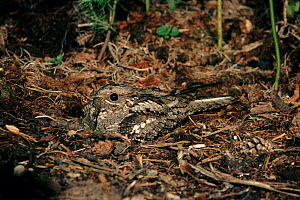 Nightjar (Caprimulgus europaeus) on nest. England, UK, Europe  -  Mike Wilkes