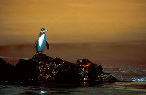 Galapagos penguin on rock(Spheniscus mendiculus) and Sally Lightfoot crab, Galapagos  -  Pete Oxford