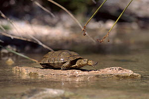 Caspian (Stripe necked) terrapin walking, River Segura, Murcia, Spain - Jose B. Ruiz