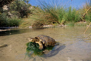 Caspian or Stripe necked terrapin, River Segura in Murcia, Spain - Jose B. Ruiz