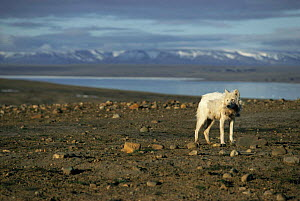 White Arctic race adult Grey wolf (Canis lupus) Ellesmere Island, Canada. Wild  -  Jeff Turner