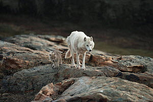 White arctic race grey wolf mother and pup (Canis lupus) walking near den, Ellesmere Island, Canada  -  Jeff Turner