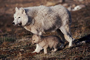 Grey wolf (arctic form) with pup near den, Ellesmere Island, Canada  -  Jeff Turner