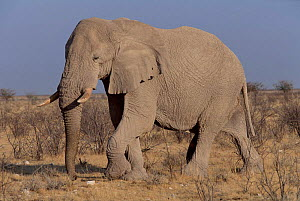 Old African elephant bull in 'must', period of sexual dominance when he wil mate with females in his home range, Etosha National Park,  S. Africa - Francois Savigny