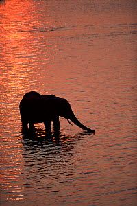 African elephant drinks in river at sunset, Chobe National Park, Botswanna  -  Pete Oxford