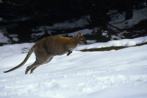 Red necked wallaby {Macropus rufogriseus} hopping through snow, Tasmania, Australia.  -  John Cancalosi
