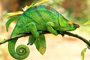 Parson's chameleon male, Madagascar  -  Pete Oxford