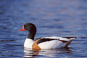 Shelduck male,  Norfolk, UK  -  Paul Hobson